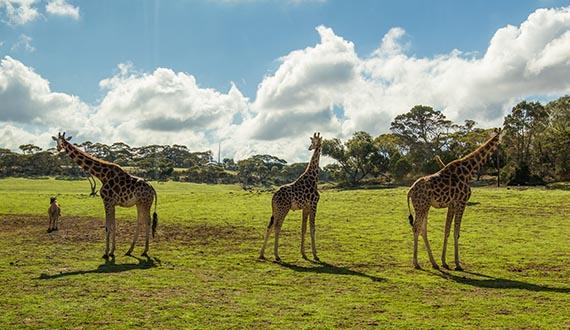 Three Giraffes stand in an open grassy field
